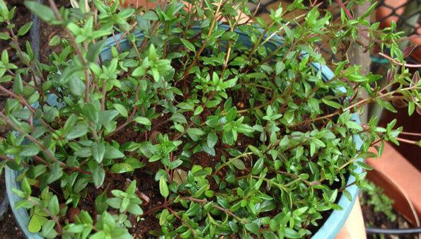 百里香 – 百里香種植好簡單