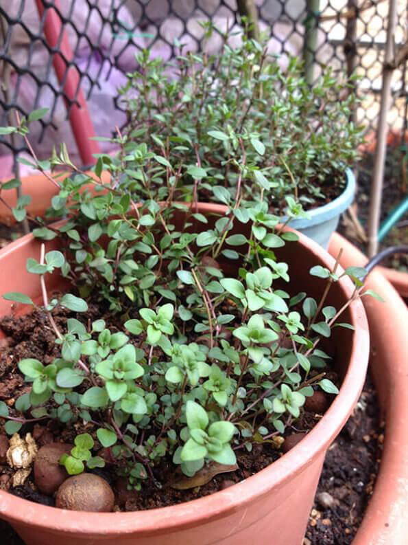 寬葉百里香 Thymus Pulegioides