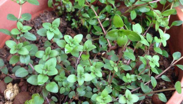 寬葉百里香 – 比百里香更容易發芽